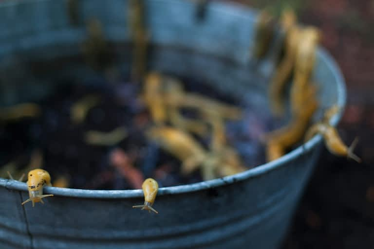 mojocreates_bananaslugs05